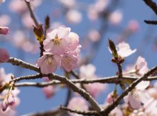 Cherry Blossom – new collection
